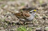 White-throated Sparrow _MKR3446.jpg