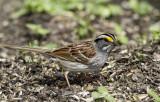 White-throated Sparrow _MKR3455.jpg