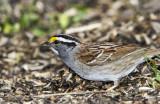 White-throated Sparrow _MKR3518.jpg