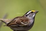 $ White-throated Sparrow _MKR3994.jpg