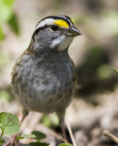 White-throated Sparrow _MKR3996.jpg