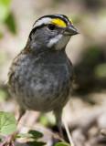 White-throated Sparrow _MKR3997.jpg