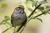 White-throated Sparrow _MKR4689.jpg
