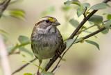 White-throated Sparrow _MKR4695.jpg