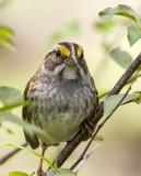 White-throated Sparrow _MKR4706.jpg