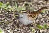 White-throated Sparrow _MKR2969.jpg