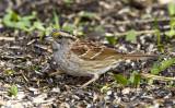 White-throated Sparrow _MKR2975.jpg