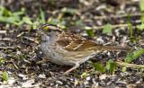 White-throated Sparrow _MKR2977.jpg