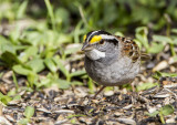 White-throated Sparrow _MKR3052.jpg