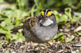 White-throated Sparrow _MKR3059.jpg