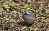 White-throated Sparrow _MKR3070.jpg