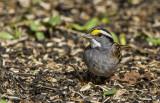 White-throated Sparrow _MKR3072.jpg