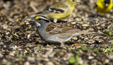 White-throated Sparrow _MKR3082.jpg