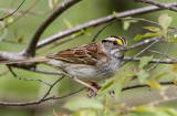 White-throated Sparrow _MKR3154.jpg