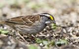 White-throated Sparrow _MKR3283.jpg
