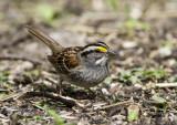 White-throated Sparrow _MKR3453.jpg