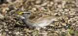 White-throated Sparrow _MKR3041.jpg