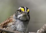 White-throated Sparrow _MKR3133.jpg