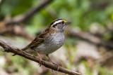 White-throated Sparrow _MKR3146.jpg