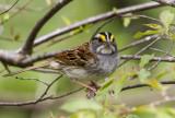 White-throated Sparrow _MKR3156.jpg