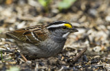 White-throated Sparrow _MKR3166.jpg