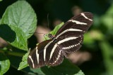$$ Zebra Heliconian _7MK7245.jpg