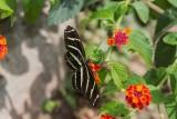 Zebra Heliconian _5MK3134.jpg