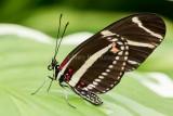 Zebra Heliconian _5MK3283.jpg