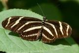 Zebra Heliconian _7MK3496.jpg