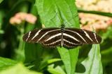 Zebra Heliconian _7MK3504.jpg