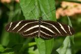 Zebra Heliconian _7MK3510.jpg