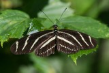 Zebra Heliconian _7MK7112.jpg