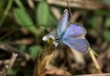 Ceraunus Blue _2MK8630.jpg