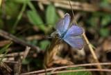 Ceraunus Blue _2MK8633.jpg