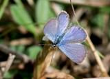 Ceraunus Blue _2MK8638.jpg