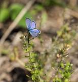 Ceraunus Blue _MKR0254.jpg
