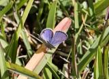 Ceraunus Blue _MKR5898.jpg