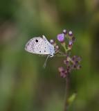 Ceraunus Blue _MKR6633.jpg