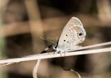 Ceraunus Blue_MKR1342.jpg