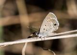 Ceraunus Blue_MKR1343.jpg