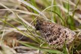 CHRYXUS ARCTIC (Oeneis chryxus)