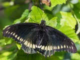 Polydamas Swallowtail _5MK3015.jpg