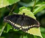 Polydamas Swallowtail _5MK3054.jpg