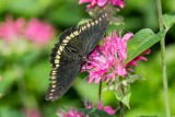 Polydamas Swallowtail _5MK3066.jpg