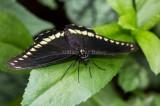 Polydamas Swallowtail _5MK3208.jpg