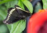 Polydamas Swallowtail _5MK3220.jpg