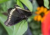 Polydamas Swallowtail _5MK3223.jpg