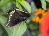 Polydamas Swallowtail _5MK3224.jpg