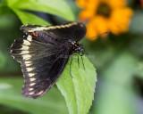 Polydamas Swallowtail _5MK3226.jpg