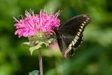 Polydamas Swallowtail _7MK3453.jpg